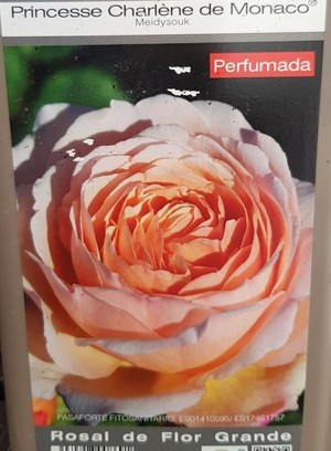ROSAL PIE BAJO PRINCESSE CHARLENE DE MONACO
