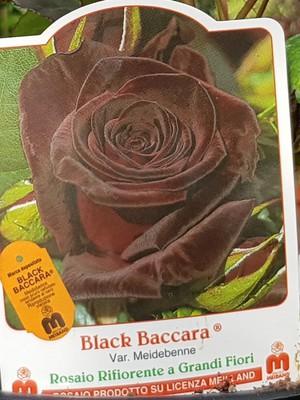 ROSAL PIE BAJO   BLACK BACCARA