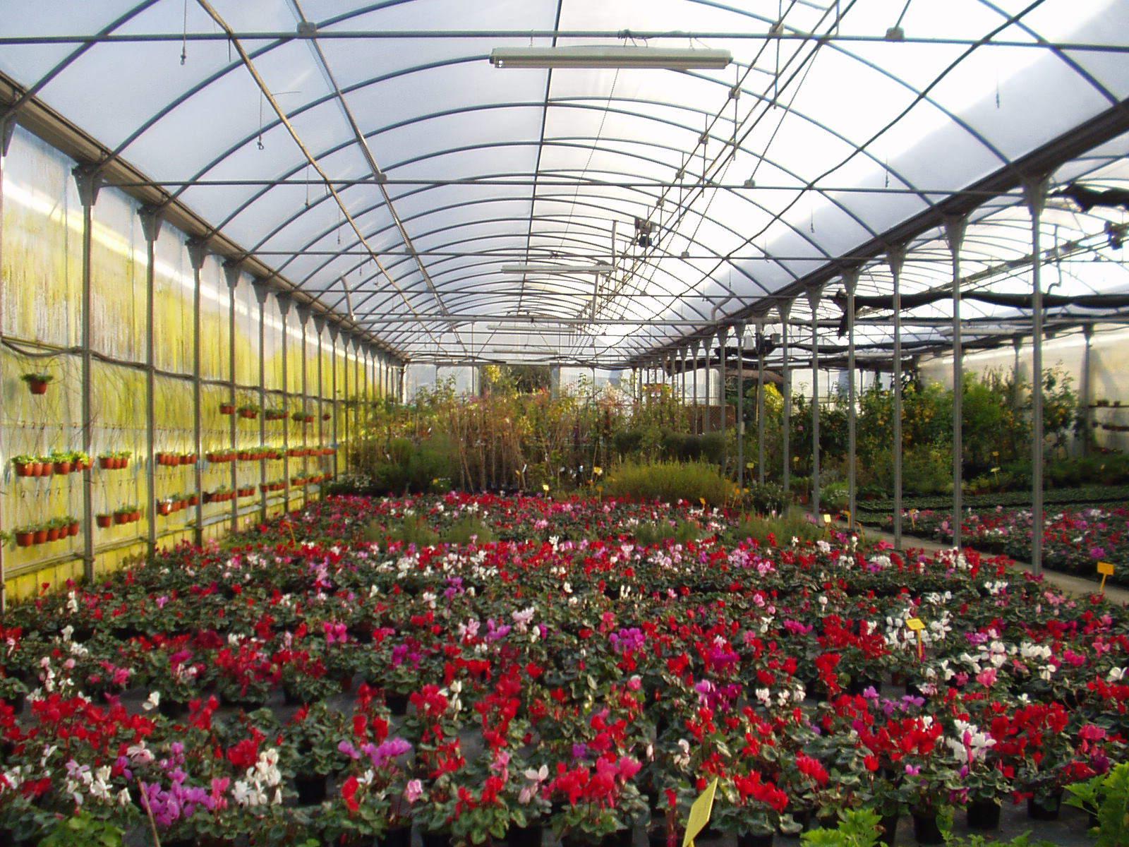 Ciclamen planta de temporada for Viveros en asturias