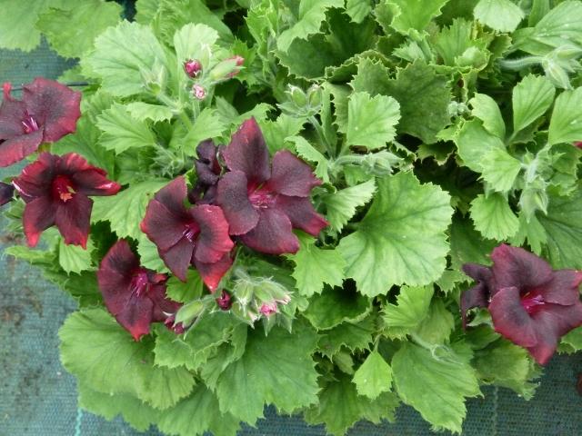 Pelargonio grandiflorum planta de temporada for Plantas temporada
