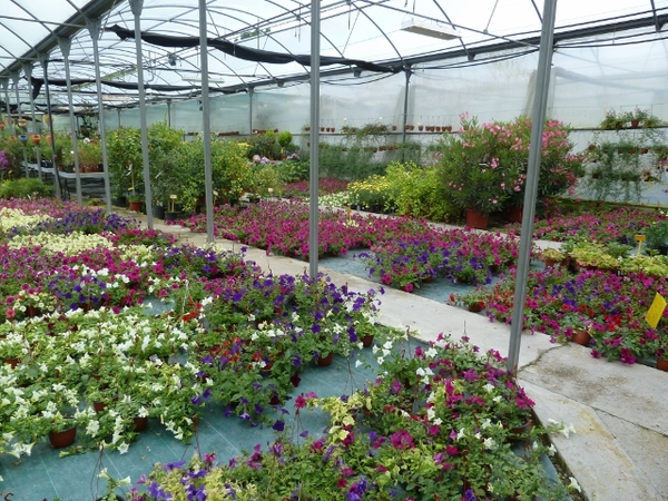 Surfinia planta de temporada for Viveros en asturias