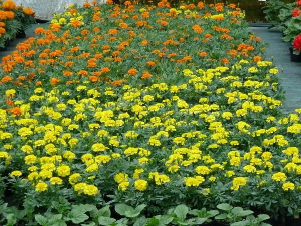 Tagete planta de temporada for Viveros en asturias